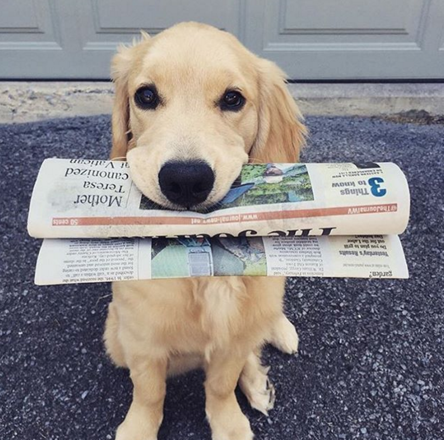 Yellow Lab puppy with paper in his mouth