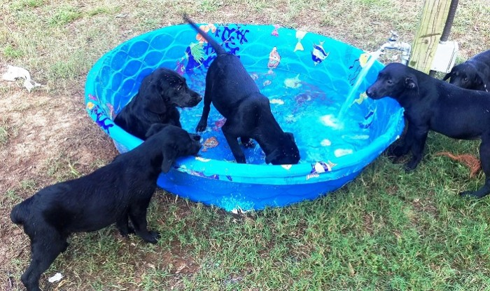 ARRUFF Rescues black lab puppies
