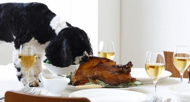 Cocker Spaniel Eating Turkey on Table