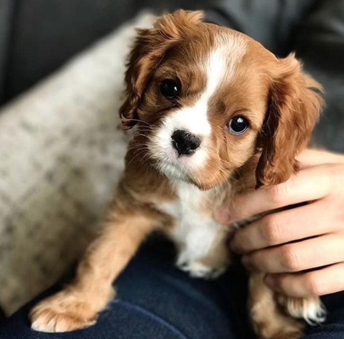 Adorable Cavalier Puppy