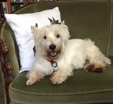 happy Westie dog on a couch
