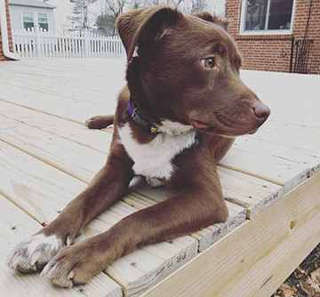 Harper, a brown dog, sitting on a patio